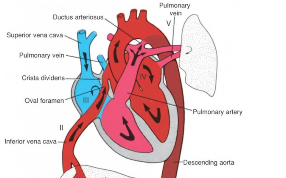 The Normal Fetal Circulation Leeds Congenital Hearts